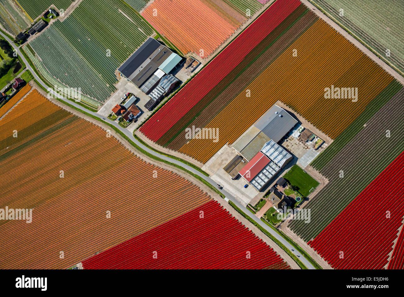 Netherlands Egmond aan den Hoef Tulip fields Aerial - Stock Image