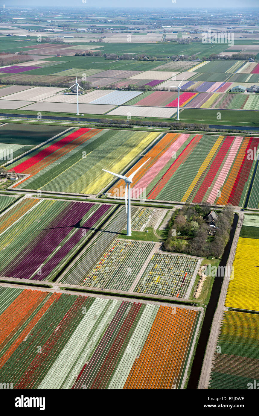 Netherlands, Burgervlotbrug, Tulip fields and windmills, Aerial - Stock Image