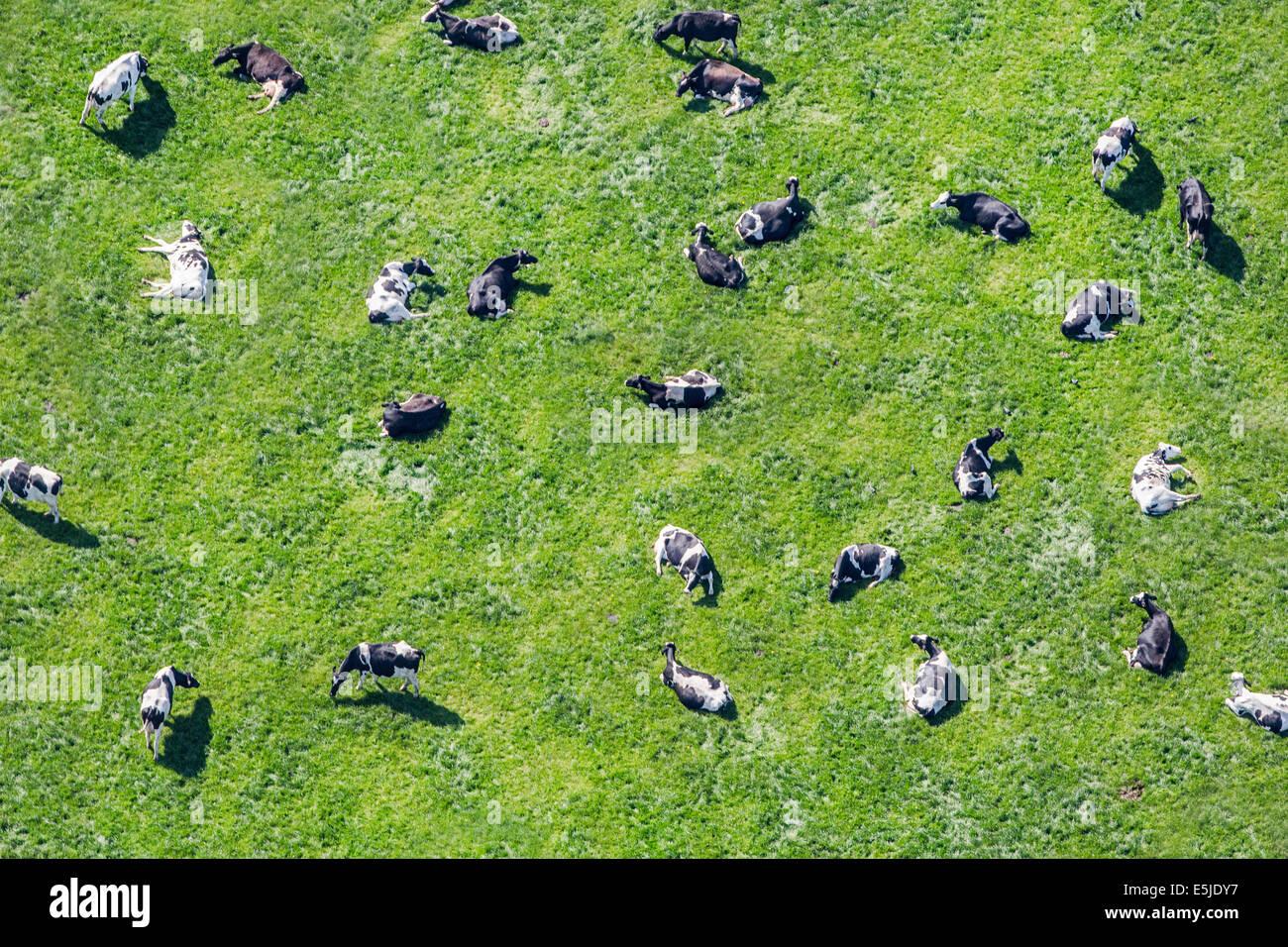 Netherlands, Eenigenburg. Cows in meadow ruminating. Aerial - Stock Image