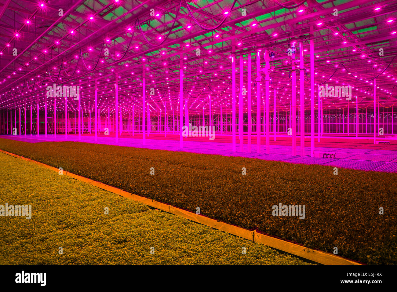 Netherlands monster red led lamps in the koppert cress greenhouses netherlands monster red led lamps in the koppert cress greenhouses arubaitofo Choice Image