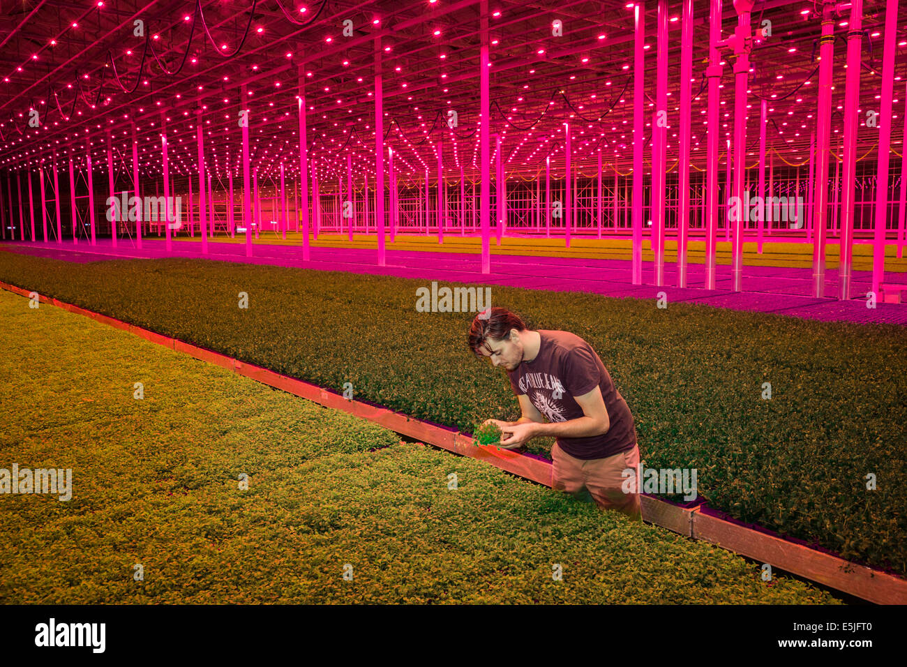 Netherlands, Monster, Red LED lamps in the Koppert Cress greenhouses - Stock Image
