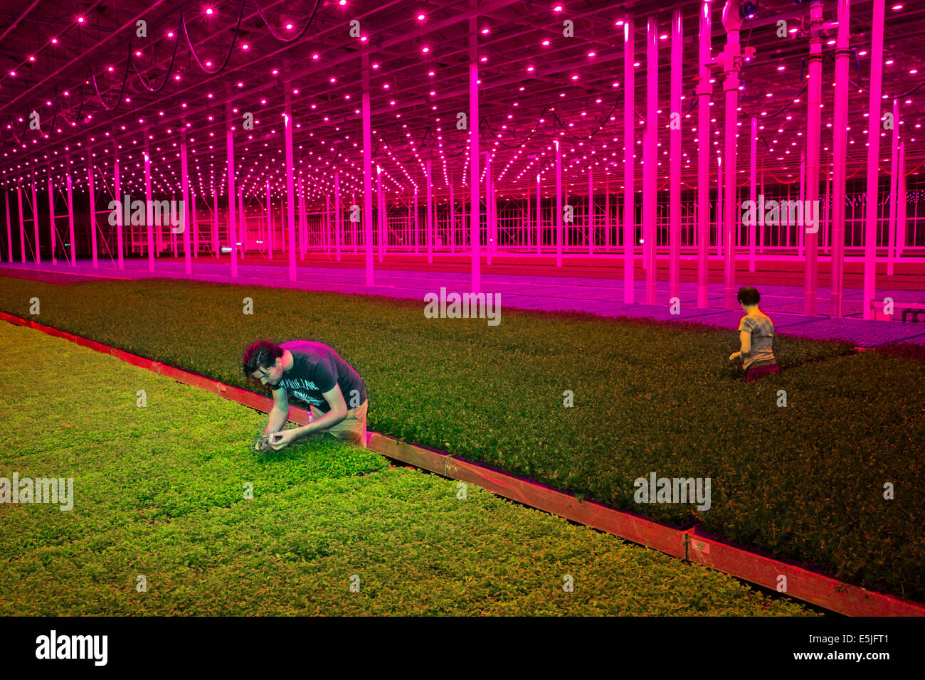 Netherlands Monster Red Led Lamps In The Koppert Cress
