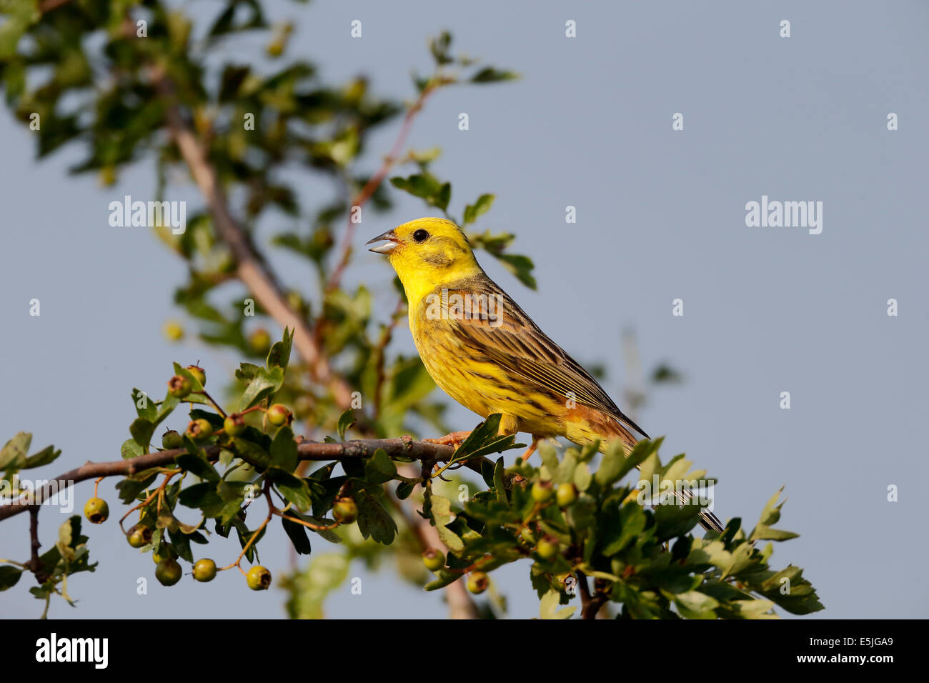Yellowhammer, Emberiza citrinella, single male on branch singing, Warwickshire, July 2014 - Stock Image