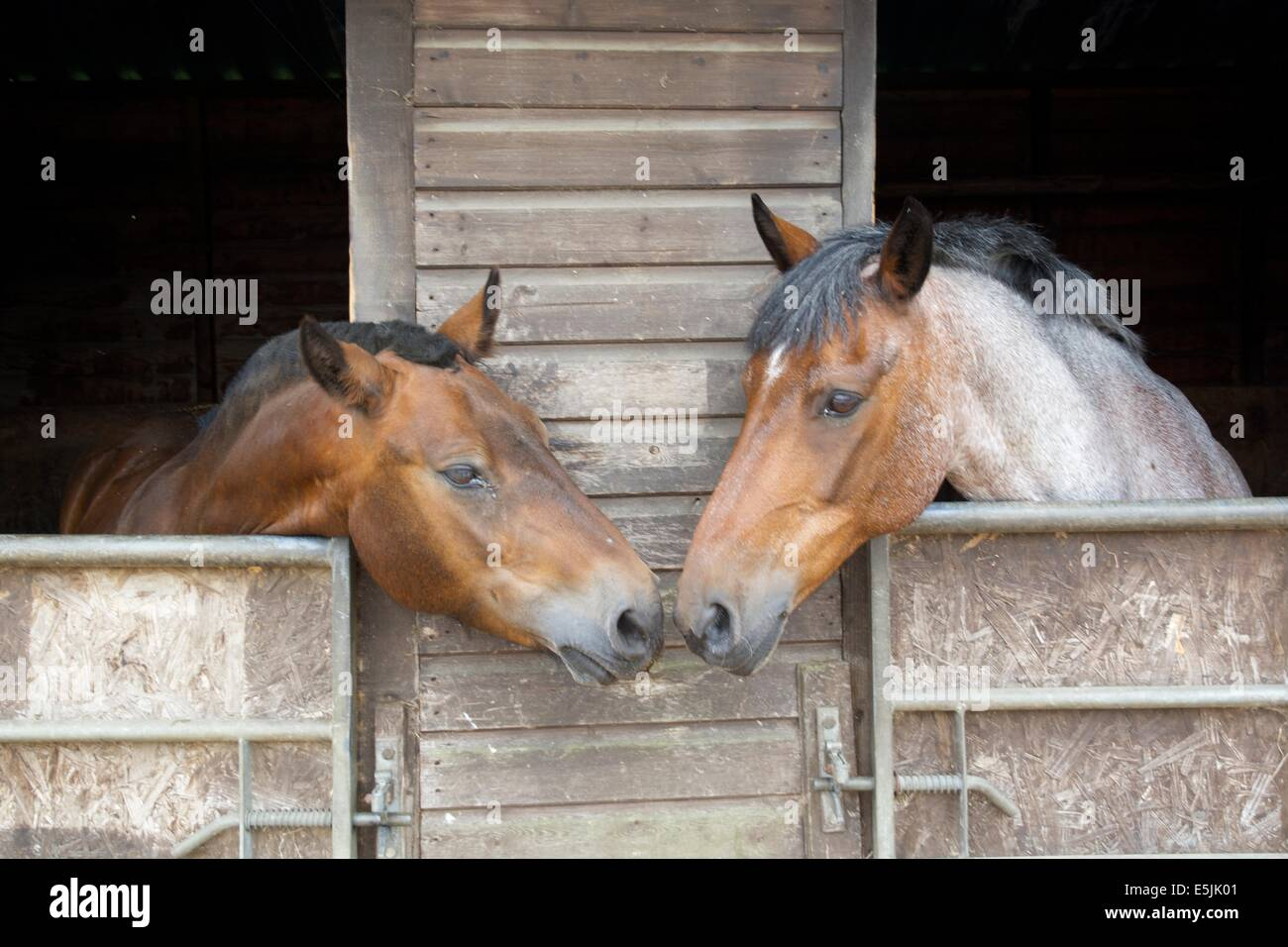 2 Horses Nose To