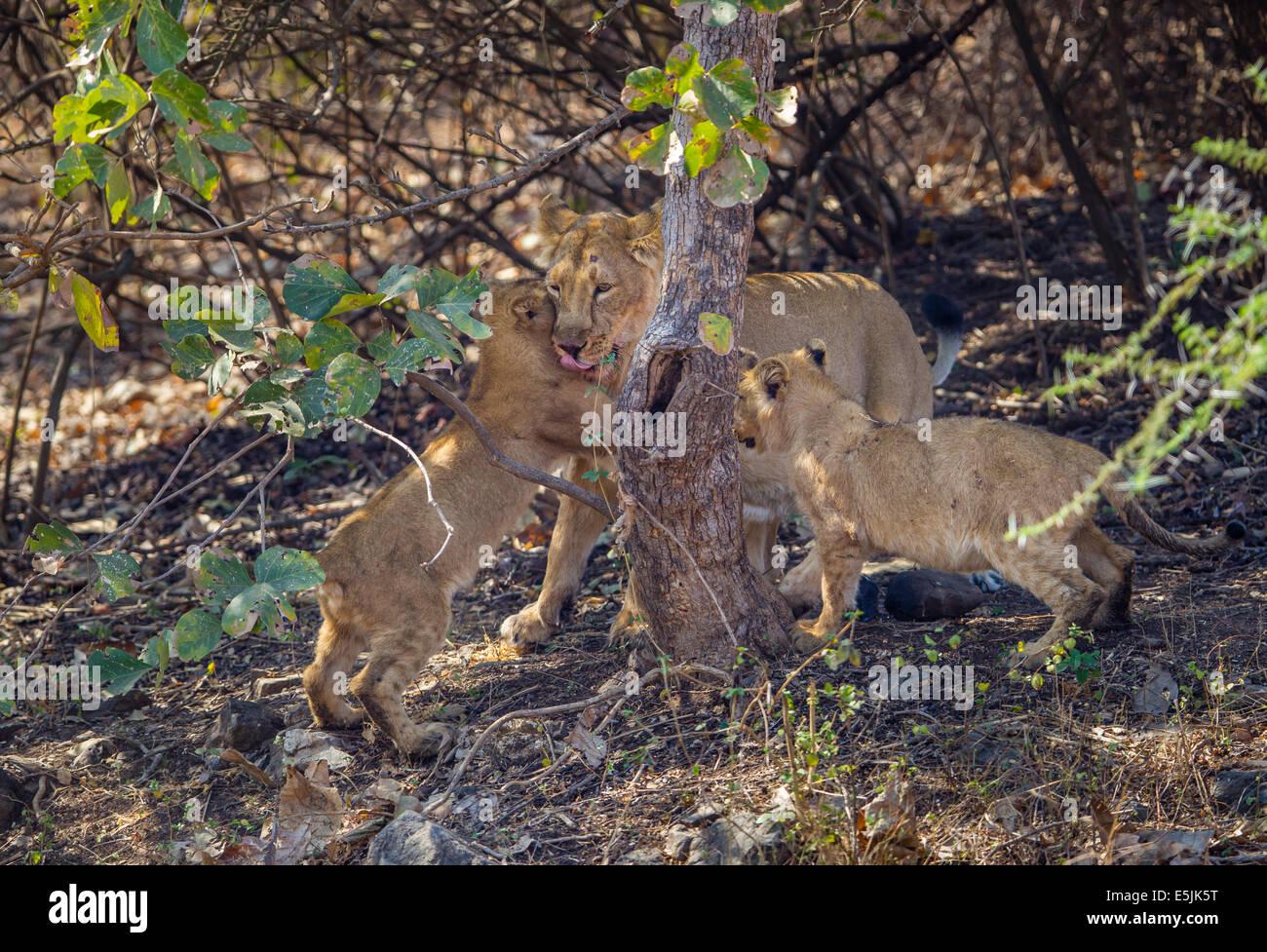 Indian Lion family [Panthera leo persica] at Gir Forest, Gujarat India. - Stock Image