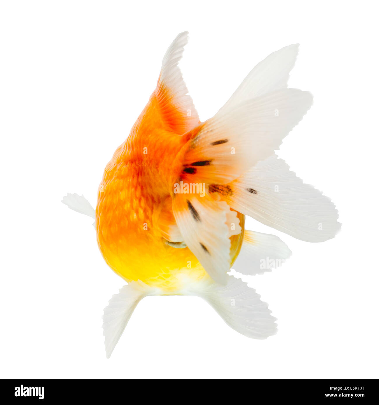 Pearlscale Goldfish Isolated On White High Quality Studio Shot Manually Removed From Background So The Finnage Is Stock Photo