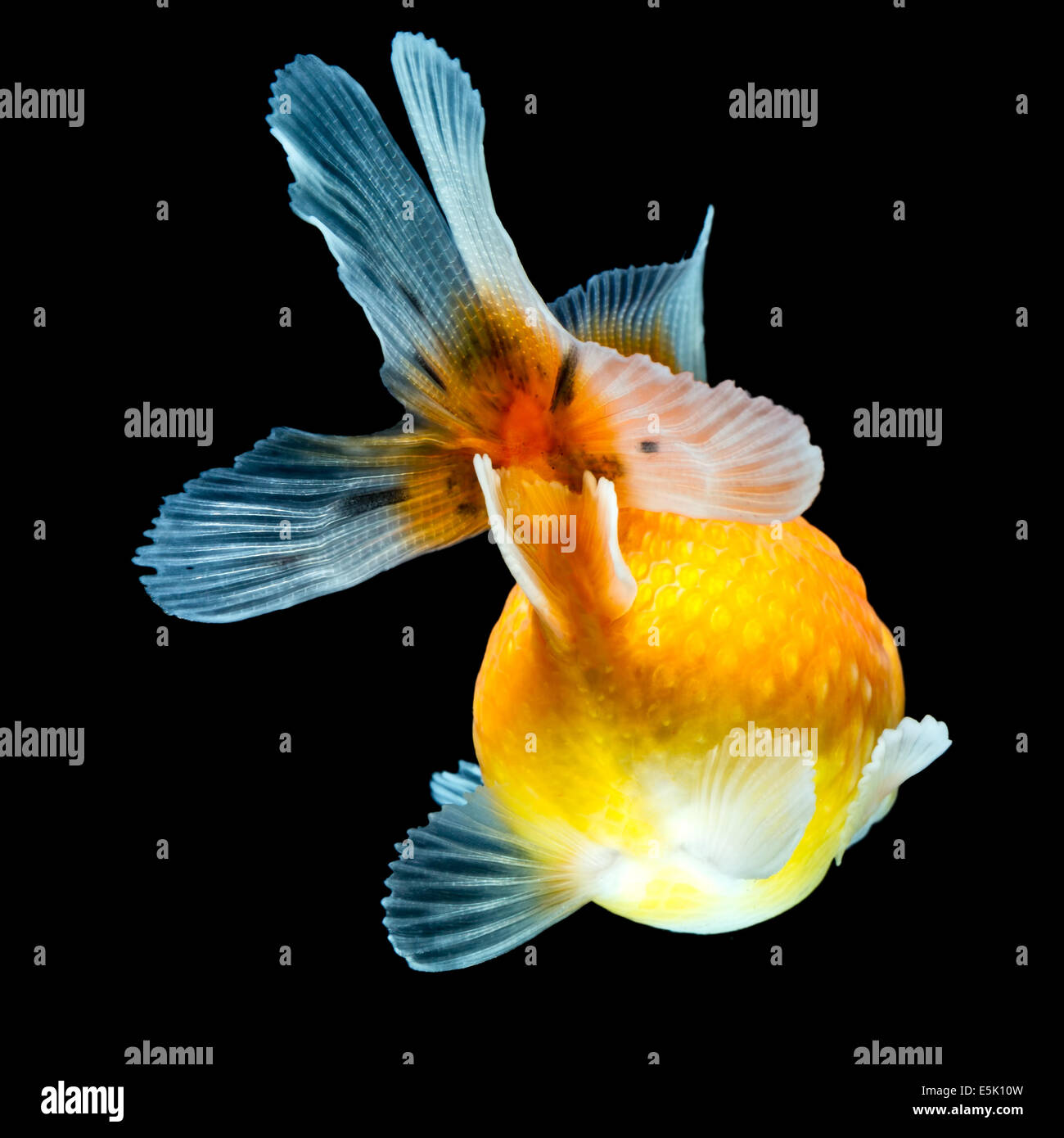 Pearlscale Goldfish Isolated On Black High Quality Studio Shot Manually Removed From Background So The Finnage Is Stock Photo