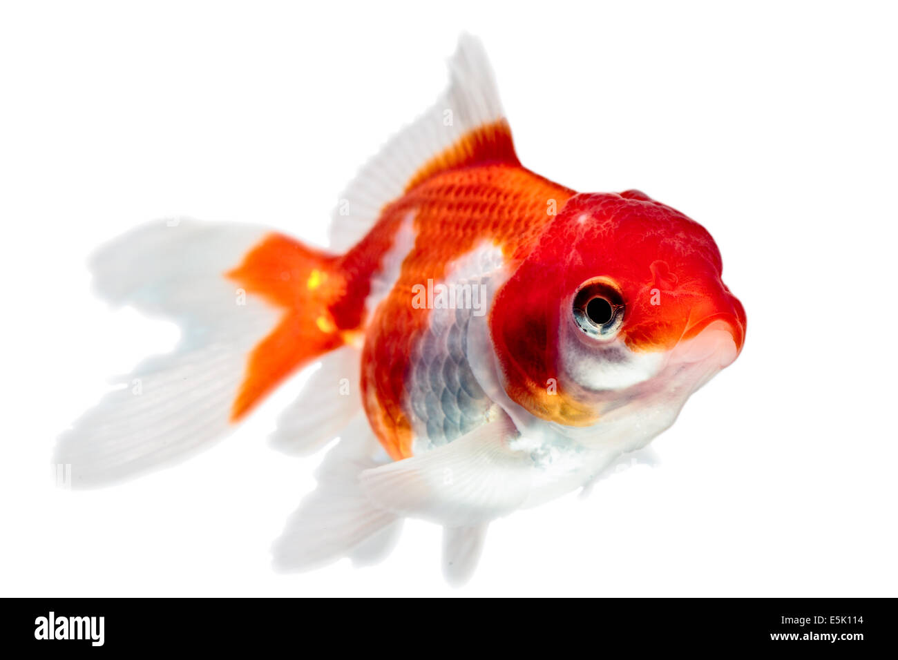Oranda Goldfish Isolated On White High Quality Studio Shot Manually Removed From Background So The Finnage Is Complete Stock Photo