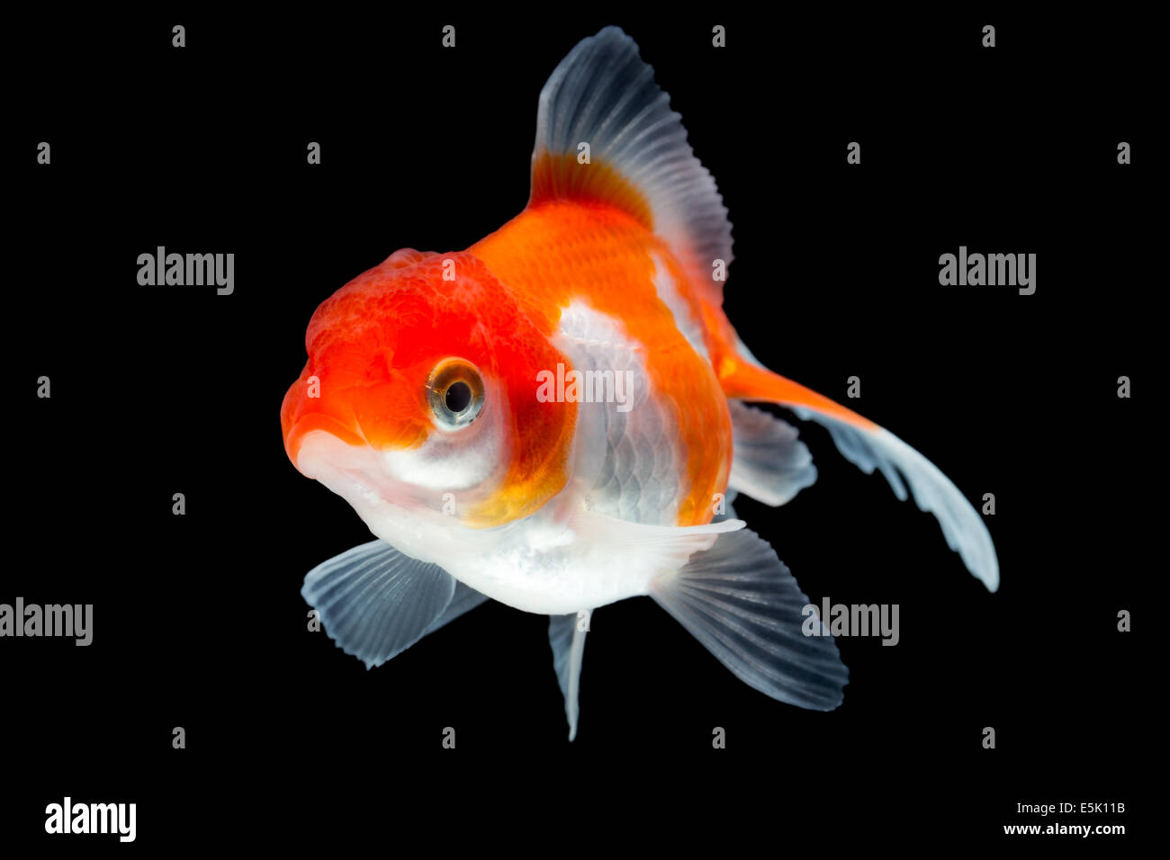 Oranda Goldfish Isolated On Black High Quality Studio Shot Manually Removed From Background So The Finnage Is Complete Stock Photo