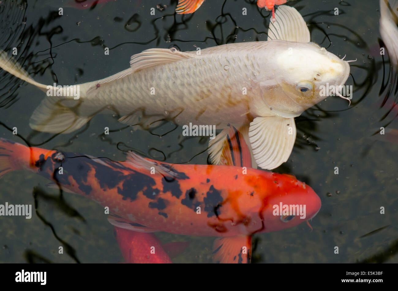Ko stock photos ko stock images alamy for Koi pool lancashire