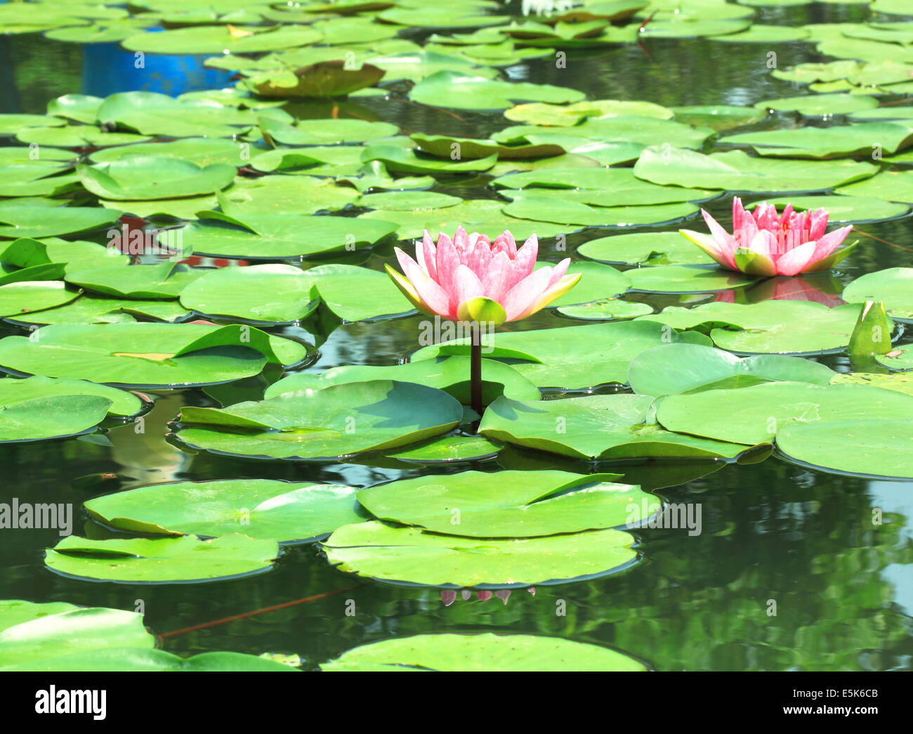 Lotus flower plants in the water. Natural background Stock Photo