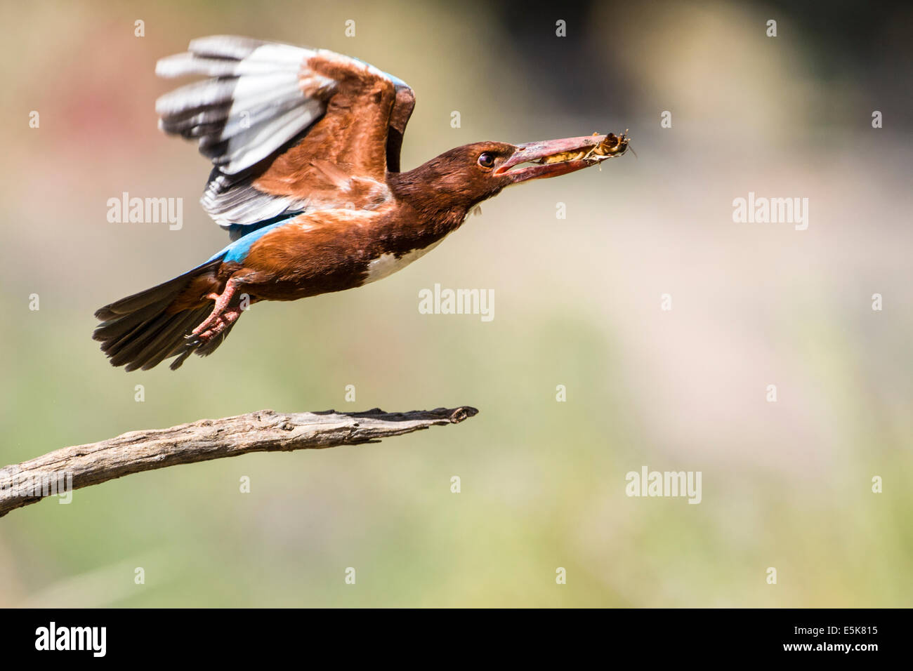 White-throated Kingfisher (Halcyon smyrnensis) with an insect in its beak, Photographed in Israel - Stock Image