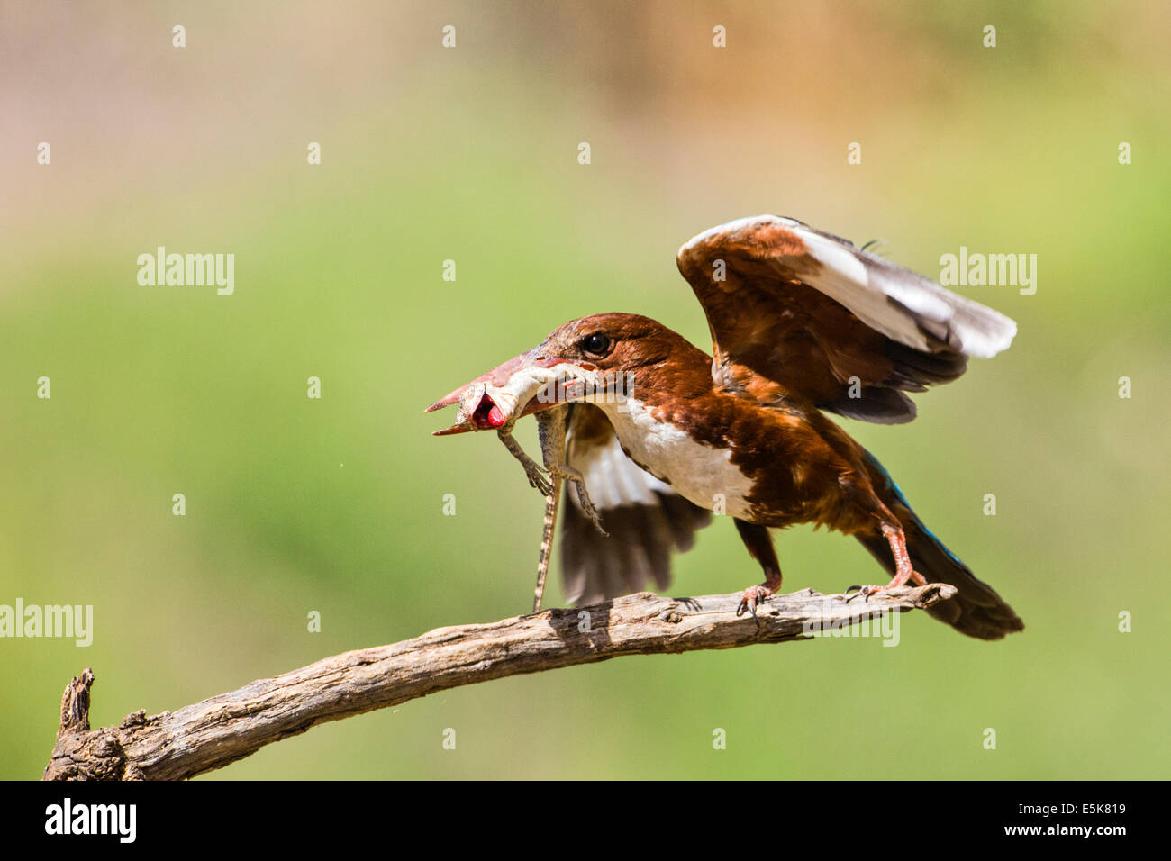 White-throated Kingfisher (Halcyon smyrnensis) with a lizard in its beak, Photographed in Israel - Stock Image