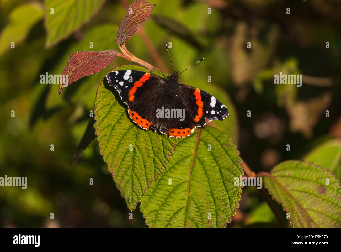 Dorsal view of the Red Admiral, Vanessa atalanta, butterfly at rest in the sunshine. Stock Photo