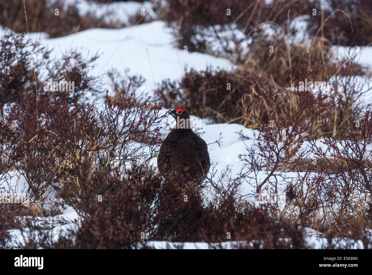 The male Red Grouse, Lagopus lagopus scotica, in the snow on a heather moor in Glen Lyon, Scotland - Stock Image