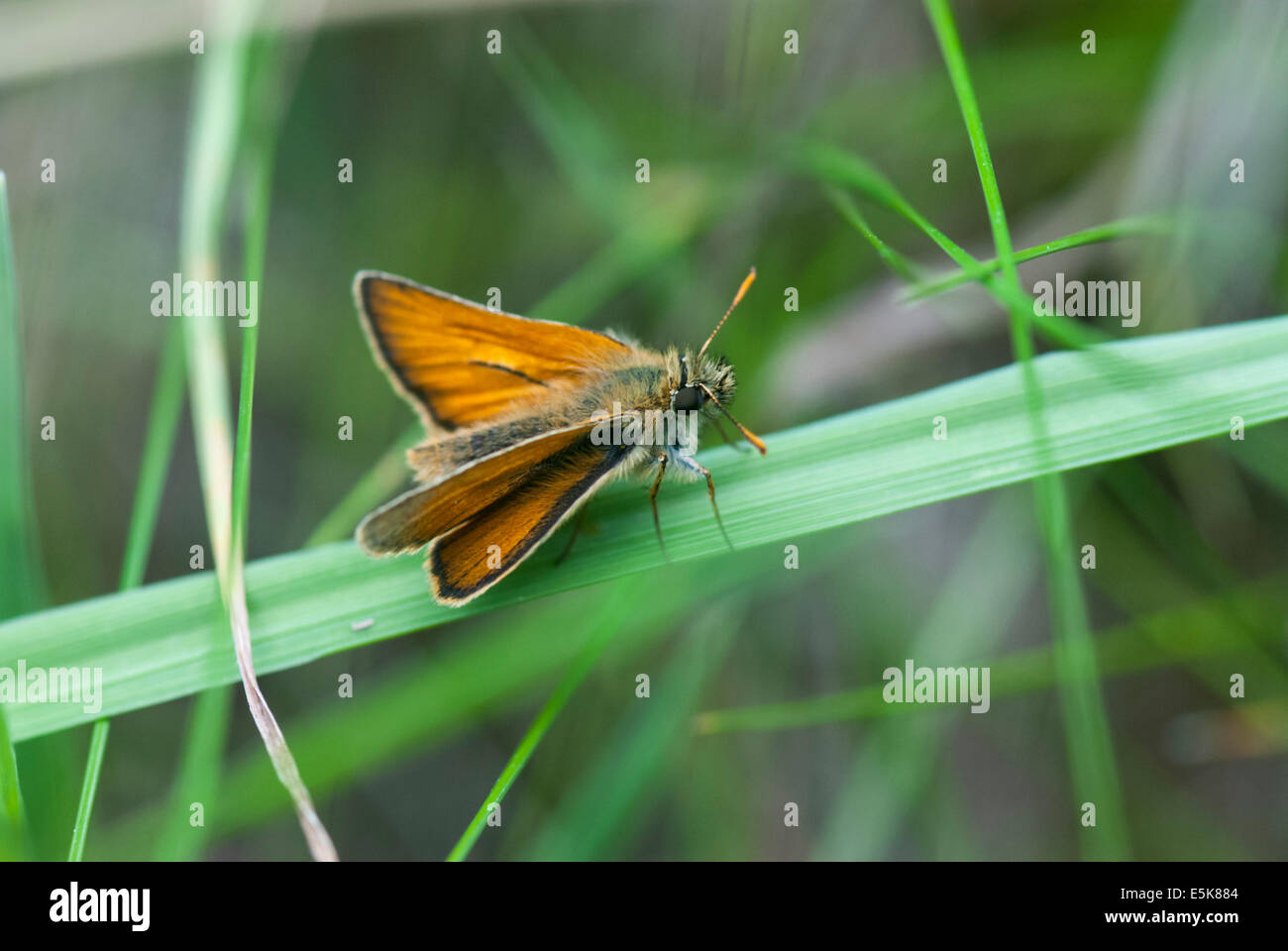 A male Small skipper, Thymelicus sylvestris, at rest on a blade of grass - Stock Image