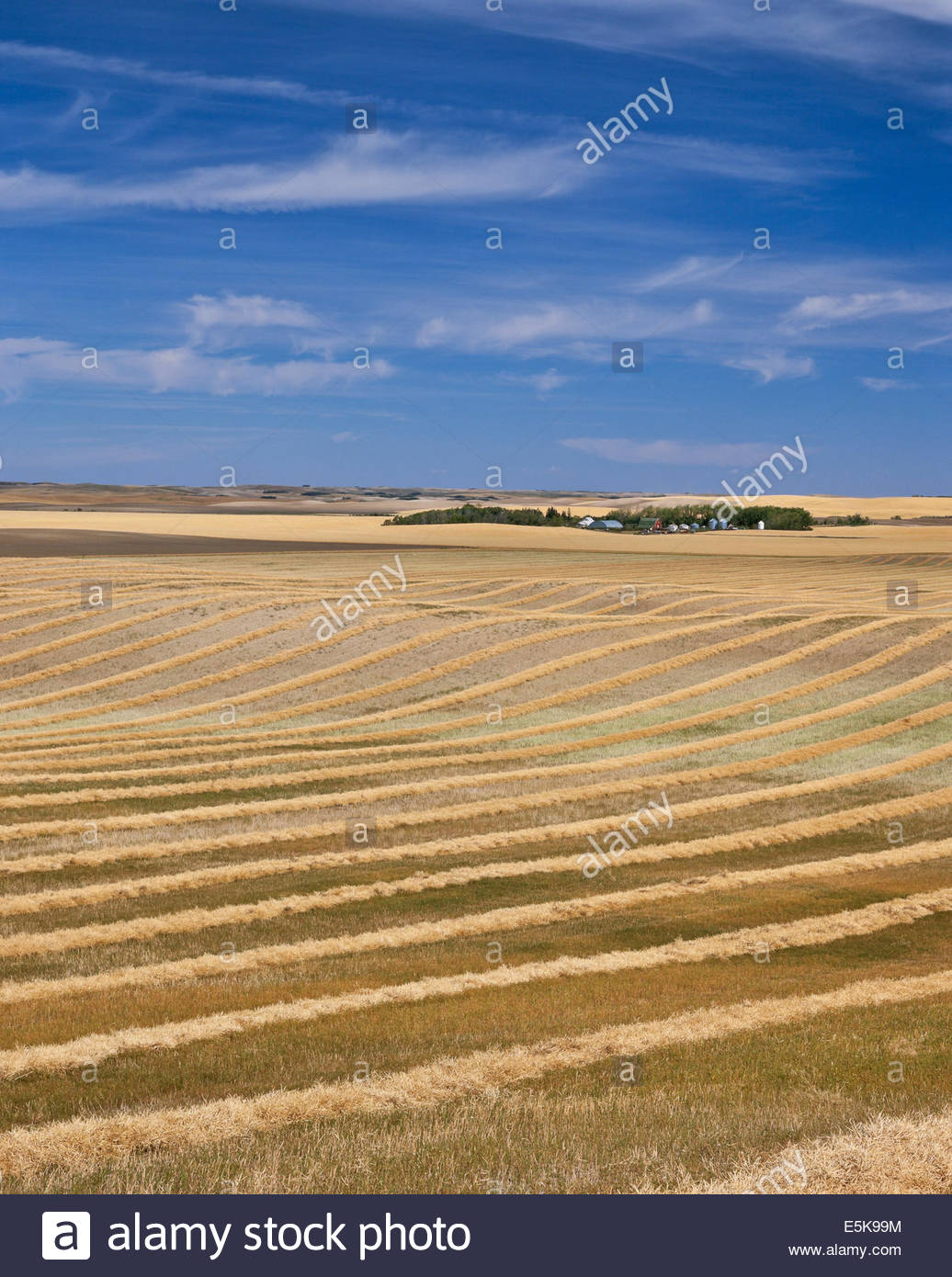 Swathed grain curing in the fields at harvest time near Saint Denis in Saskatchewan Canada - Stock Image