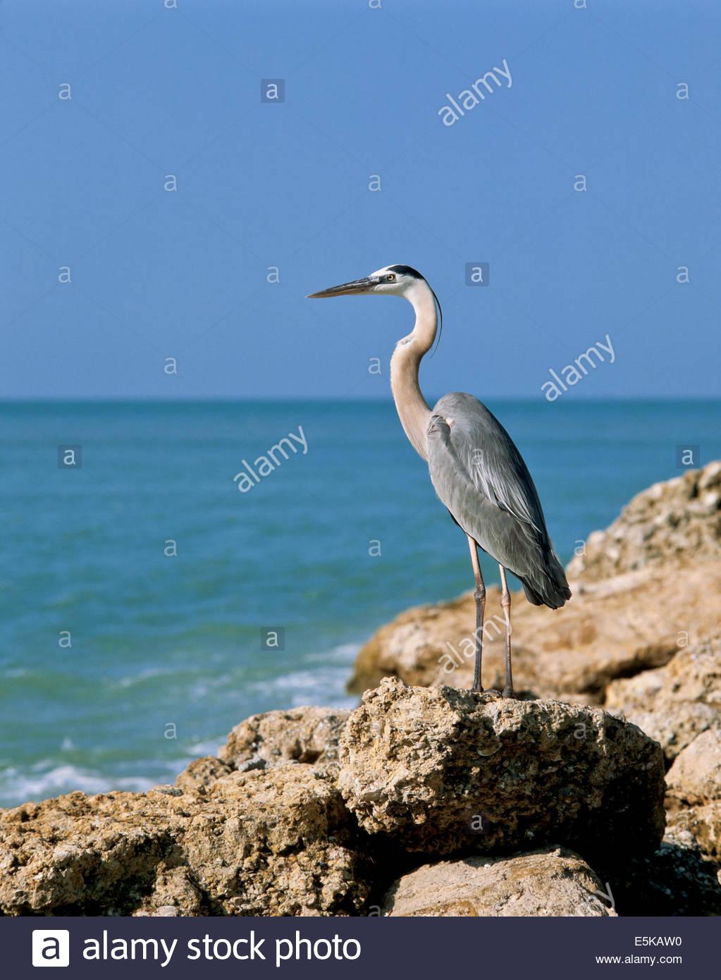 Great Blue Heron Ardea herodias on Turner Beach on Captiva Island near Fort Meyers in Florida USA Stock Photo