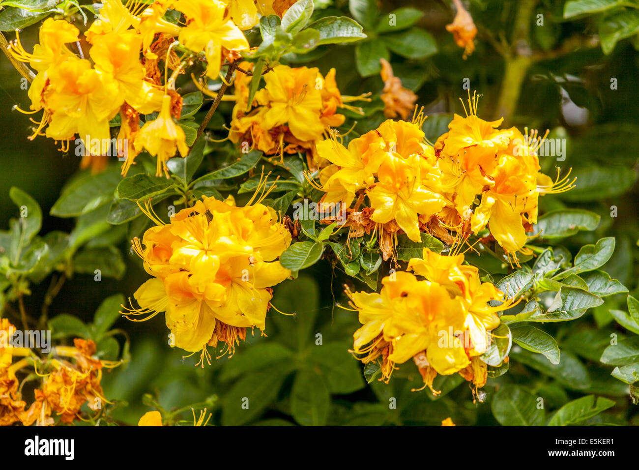 the yellow flowers of rhododendron Rhododendron luteum - Stock Image