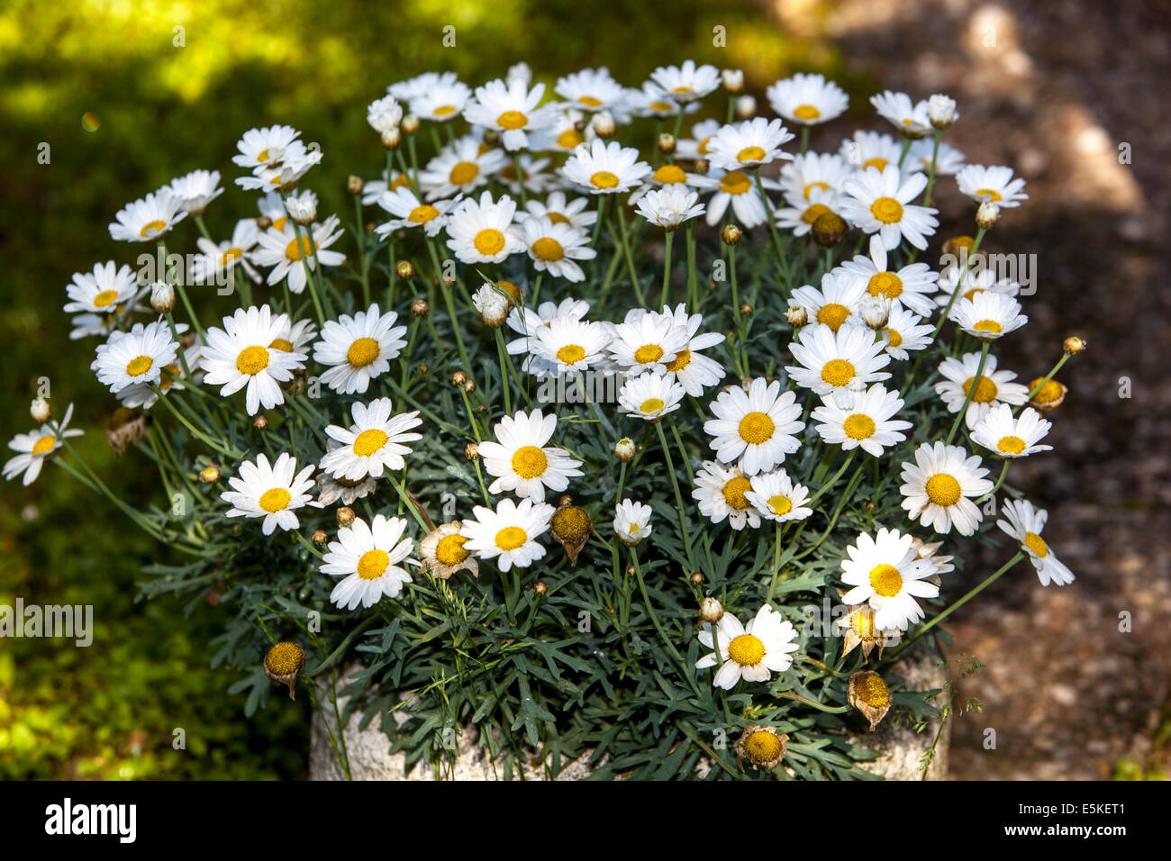 daisies in container - Stock Image