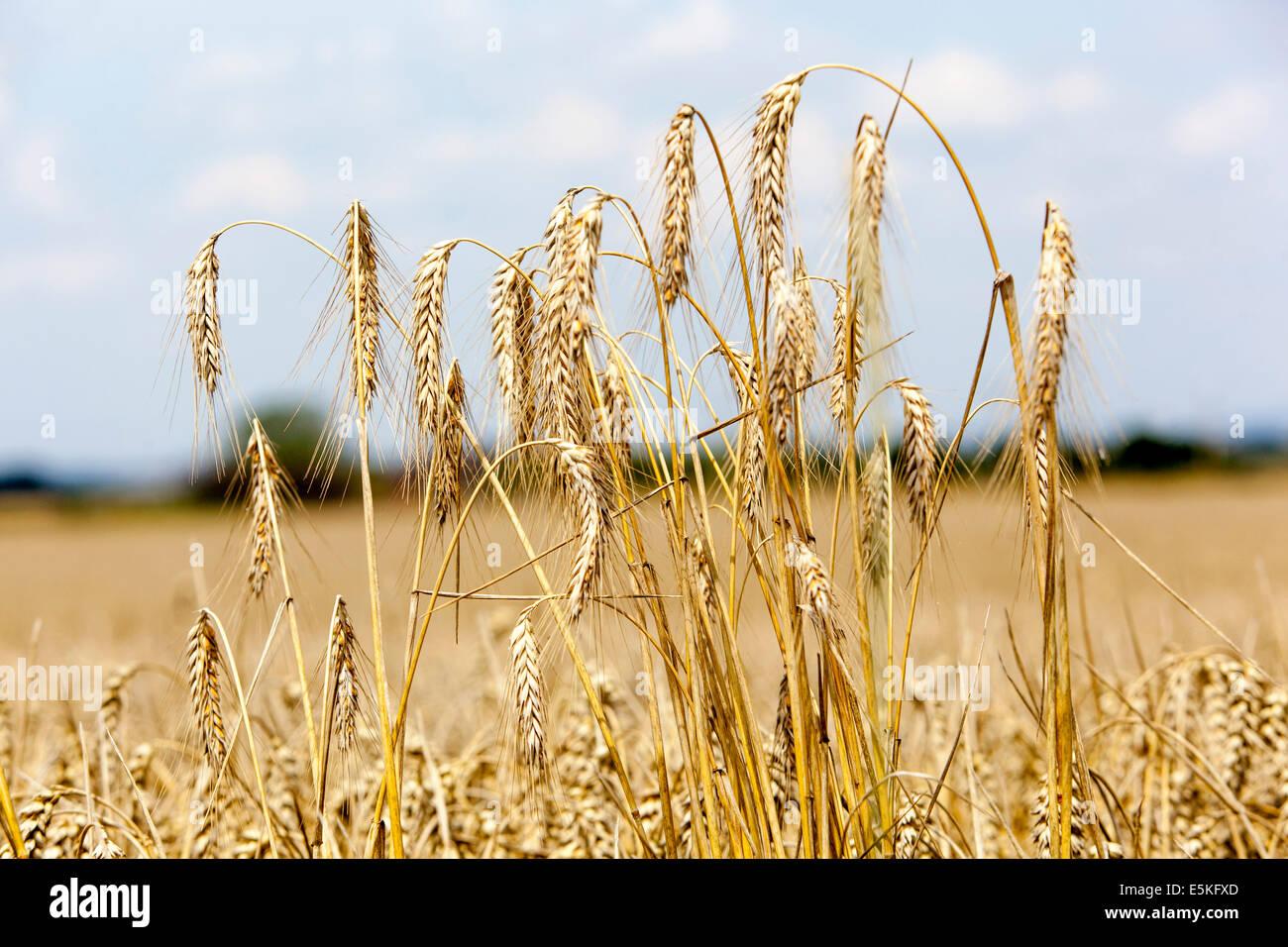 ears of wheat - Stock Image