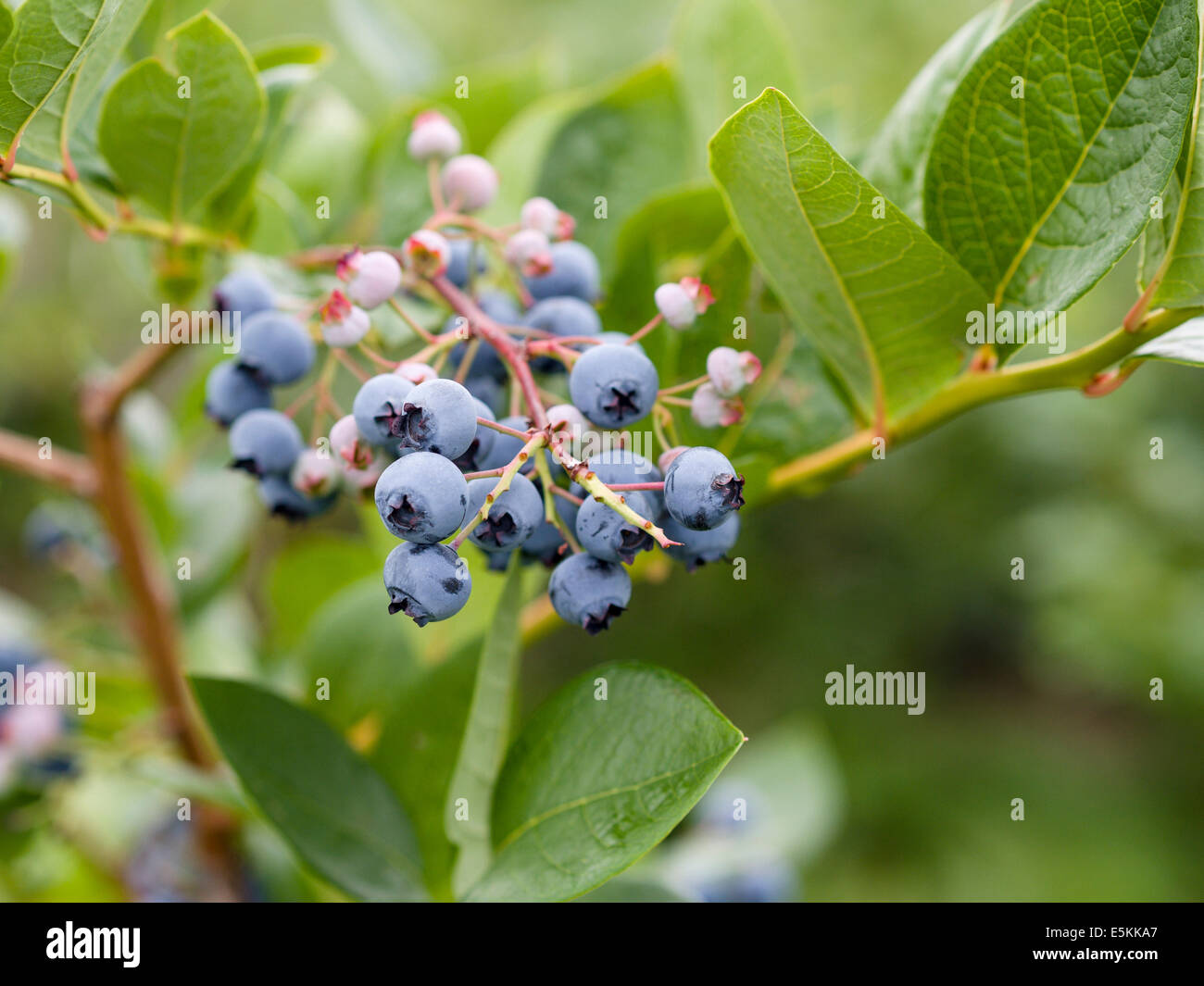 Northern Highbush Blueberries on the Bush. A cluster of fresh ripe and green unripe blueberries hanging on a bush Stock Photo