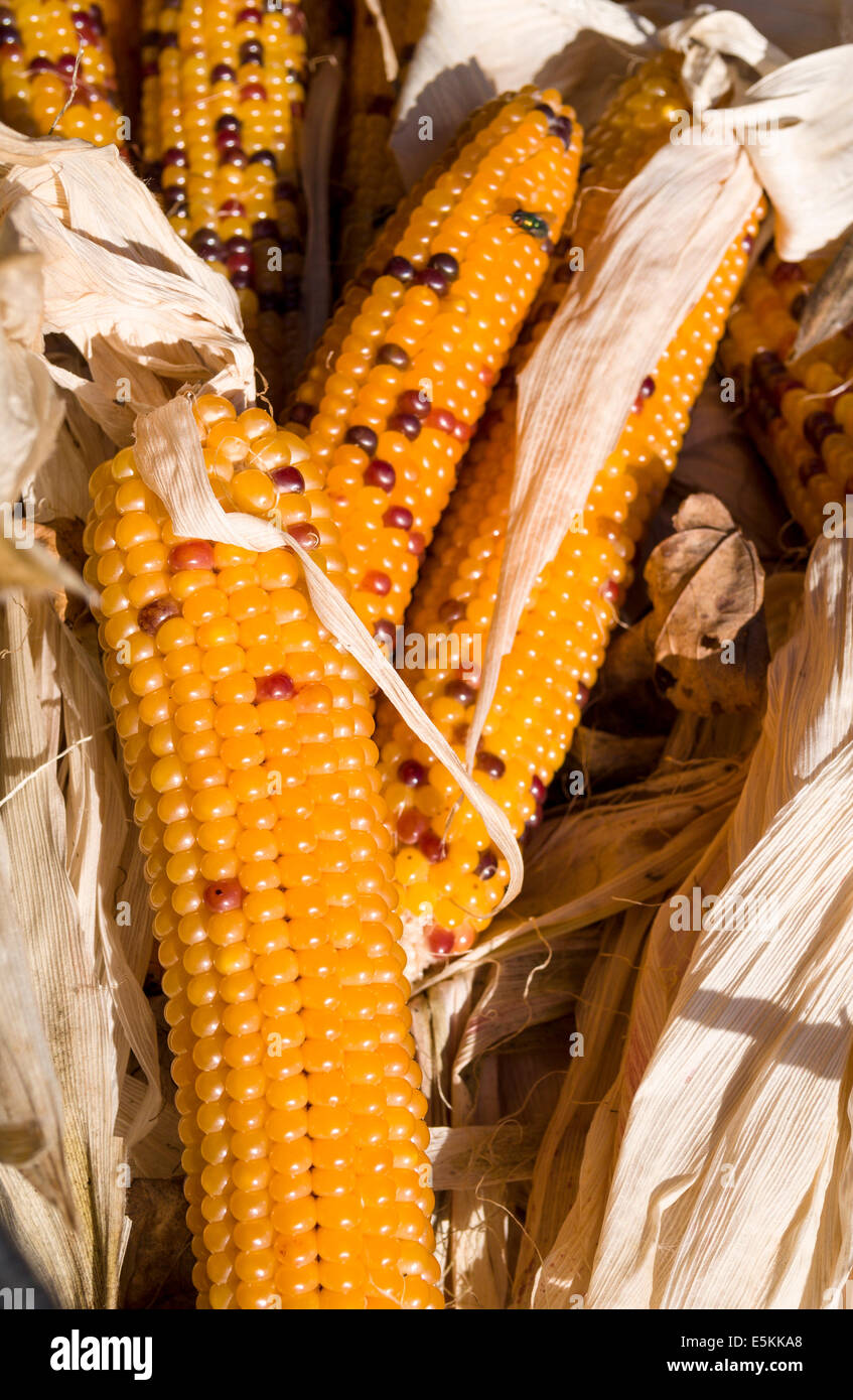 Ears of bi-coloured Corn. Dried cobs of corn at a Prince Edward County Market. Hagerman Farms, Picton, Ontario, - Stock Image