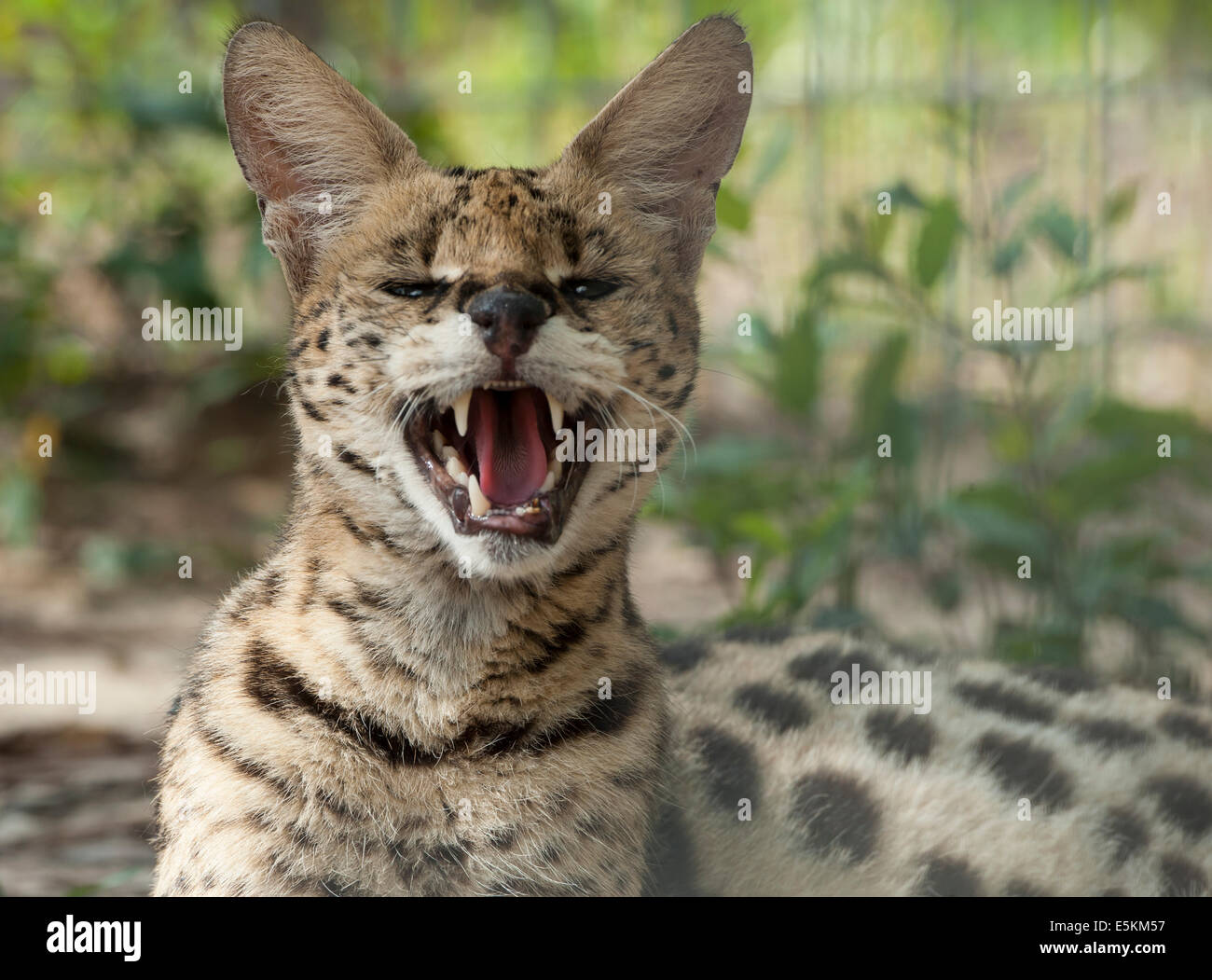 Captive African Serval Cat at Forest Animal Rescue, Ocala, Florida USA - Stock Image