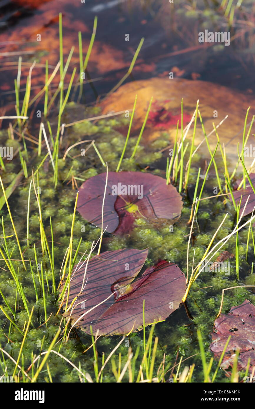 Close up of water lily pads in a pond of tannin-coloured water in Betty's Bay, Overberg, Western Cape Province, Stock Photo
