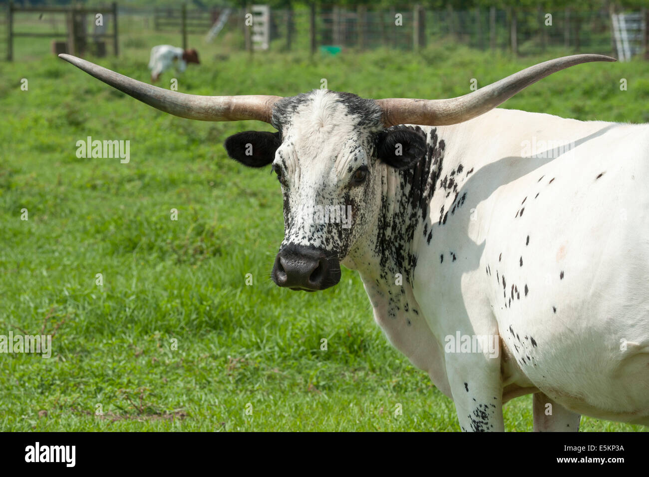 Texas Longhorn cattle - Stock Image