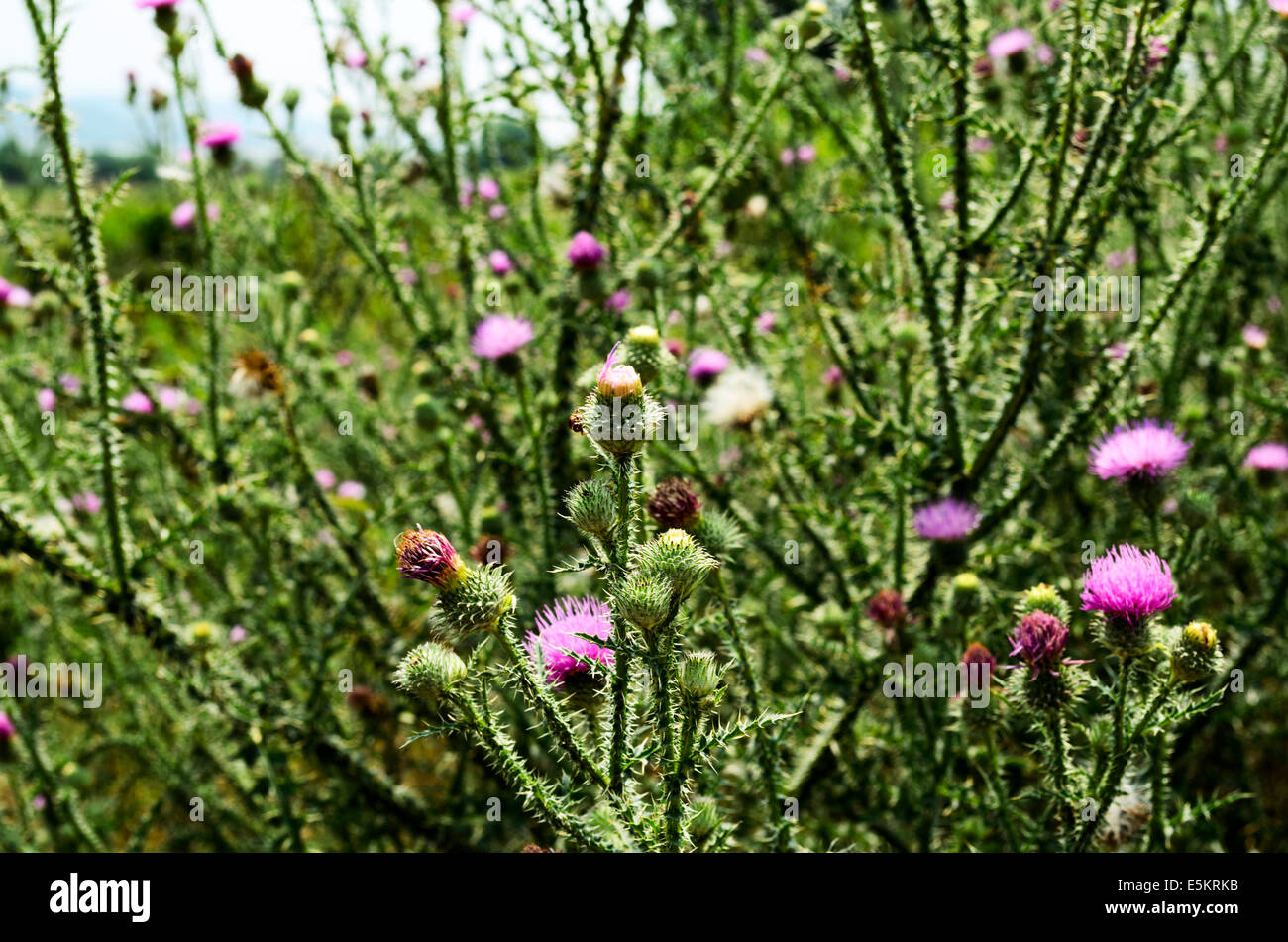 Plumeless Thistle Blossom Close-Up Stock Photo