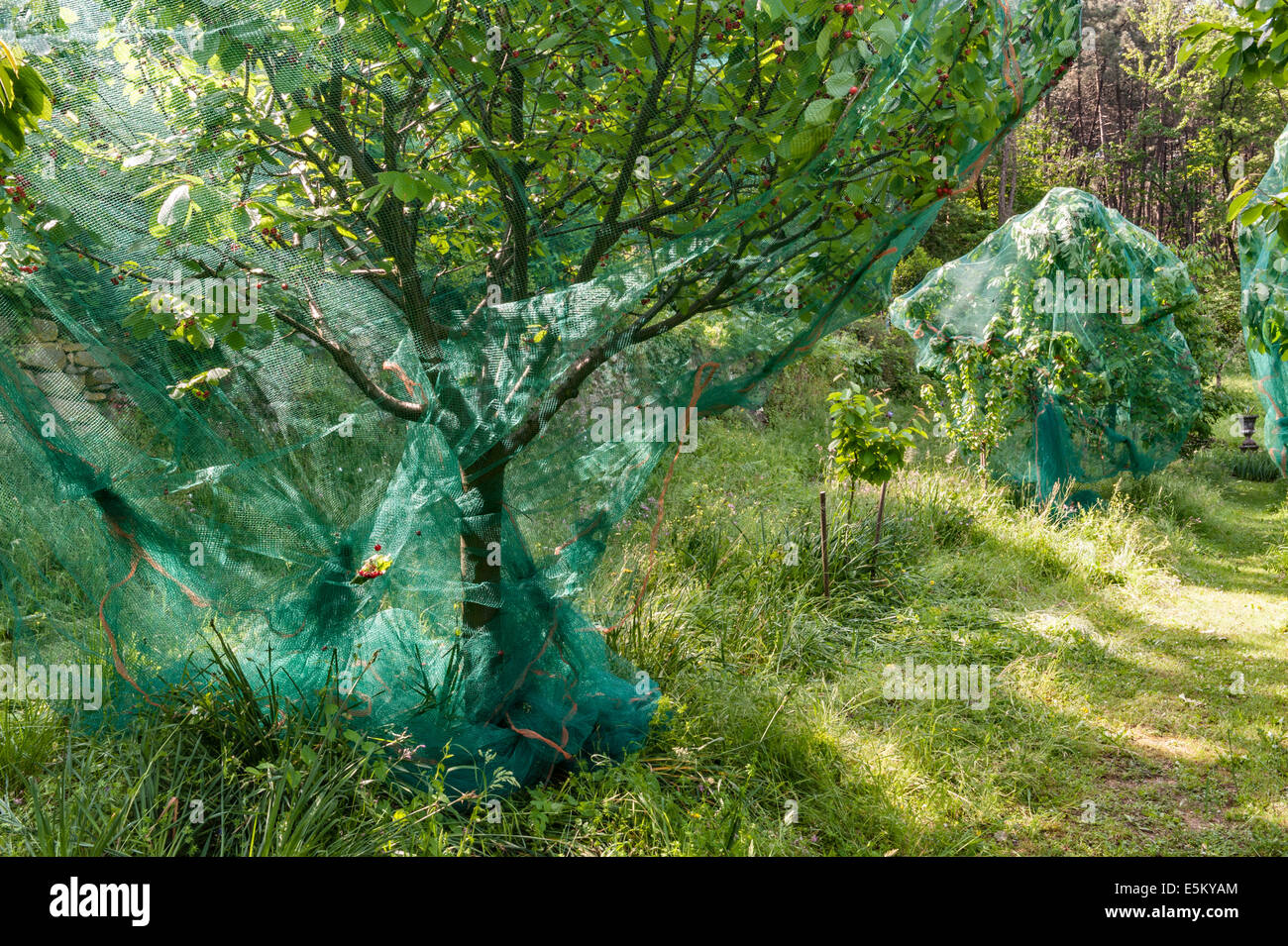 Ripe cherries netted to protect them from birds in an Italian orchard - Stock Image