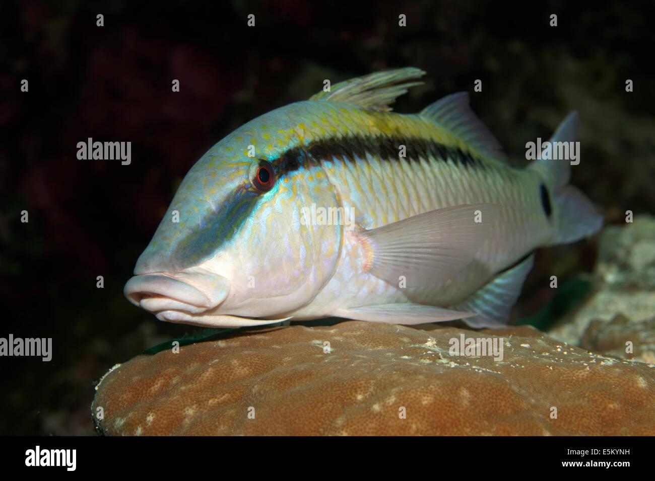 Dash-and-dot Goatfish (Parupeneus barbe rinus) dormant, Great Barrier Reef, UNESCO World Natural Heritage Site, - Stock Image