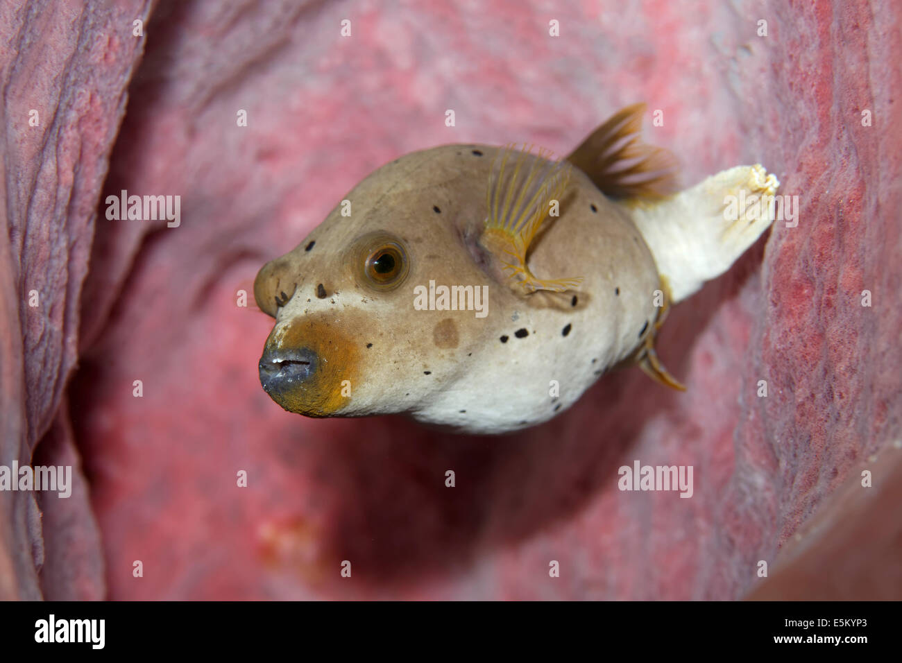 Blackspotted Puffer or Dog-faced Puffer (Arothron nigropunctatus), Great Barrier Reef, UNESCO World Natural Heritage Stock Photo