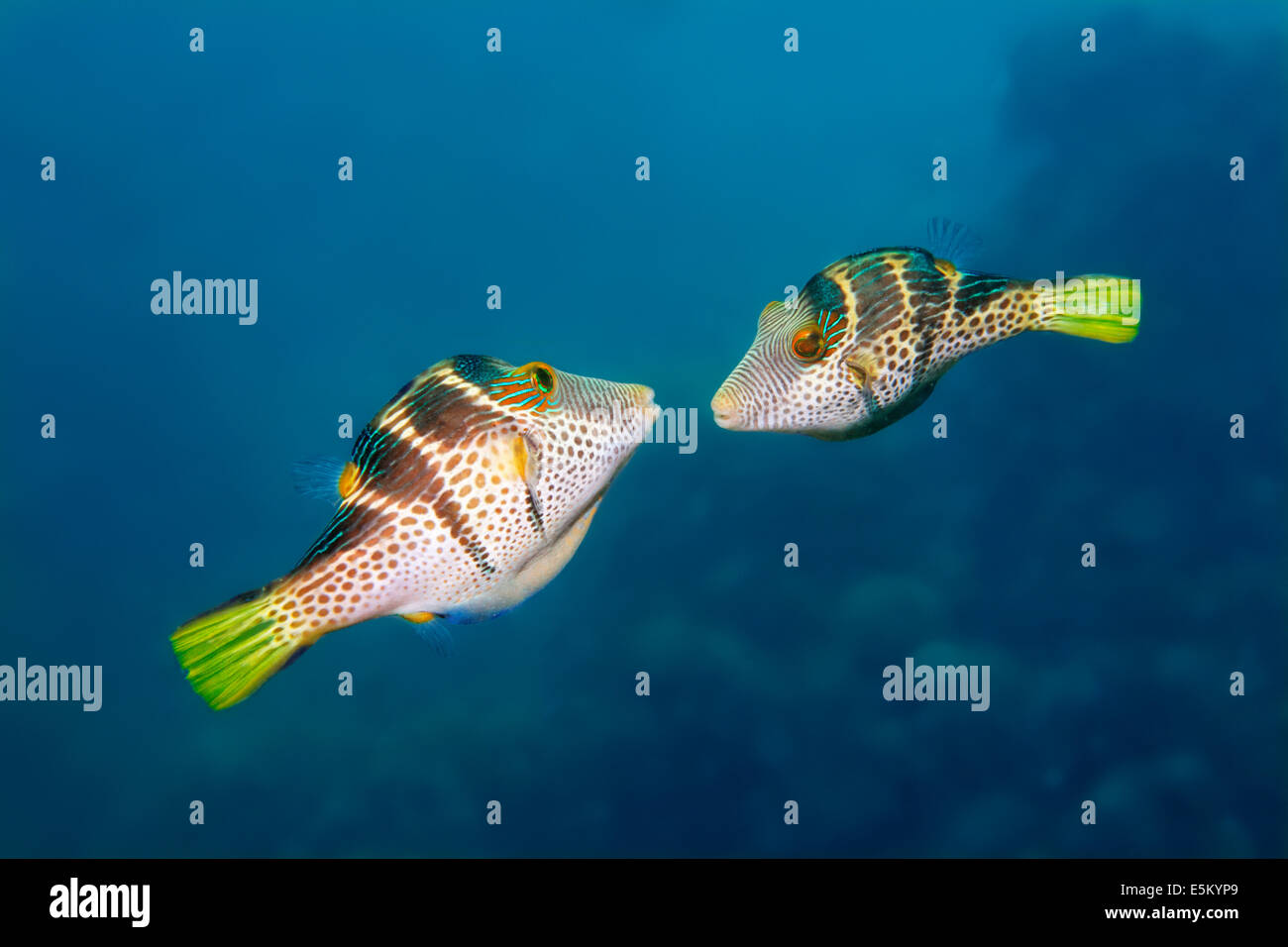 Valentinni's Sharpnose Puffer or Black Saddled Toby, (Canthigaster valentini), courting, Great Barrier Reef, UNESCO World Stock Photo