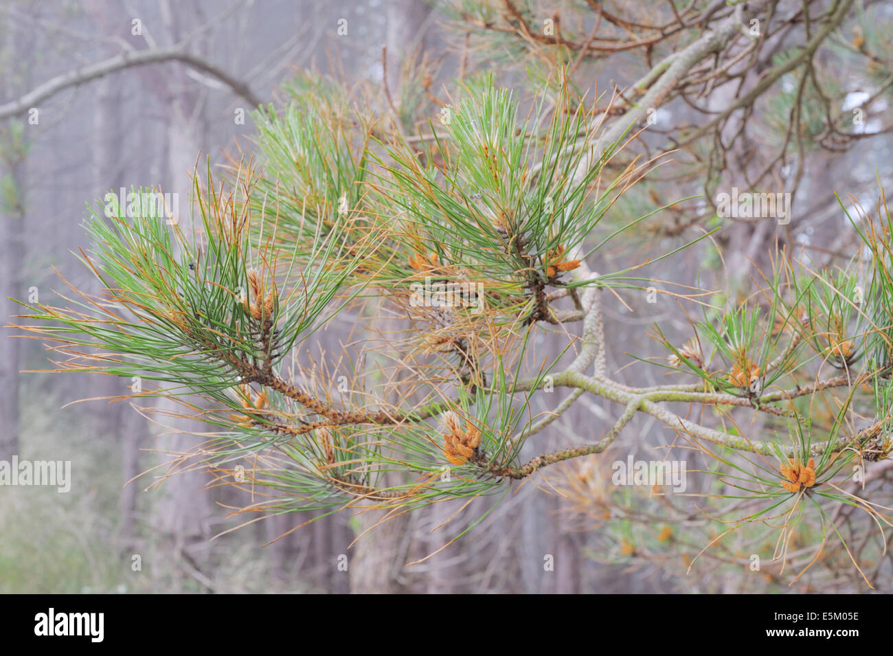 Dying pine needles, signs of Dothistroma Needle Blight or Red Band Needle Blight caused by fungus Dothistroma septosporum, - Stock Image