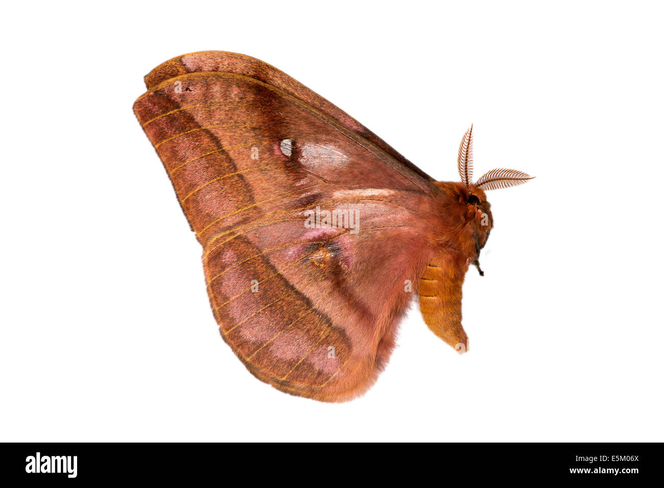 Undefined moth (Nudaurelia), native to Ethiopia - Stock Image