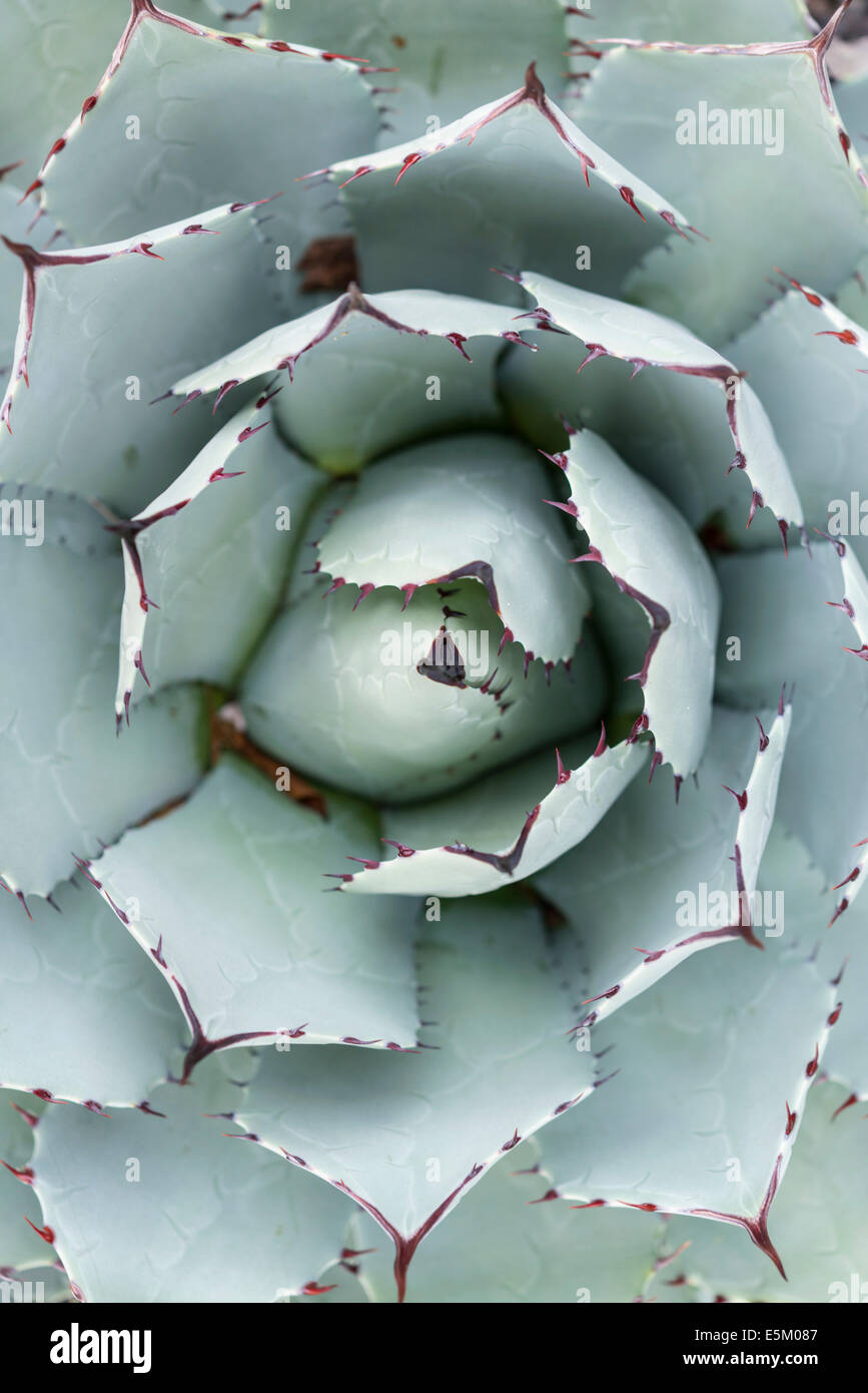 Parra's Agave (Agave parrasana) from above, native to Mexico - Stock Image