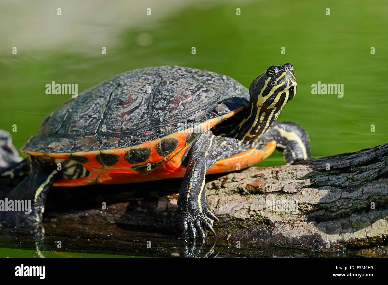 Florida Red-bellied Turtle, Florida Red-bellied Cooter or Florida Redbelly Turtle (Chrysemys nelsoni, Pseudemys Stock Photo