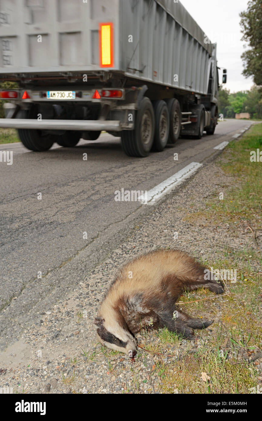 Dead Badger (Meles meles) next to road, Provence, Southern France - Stock Image
