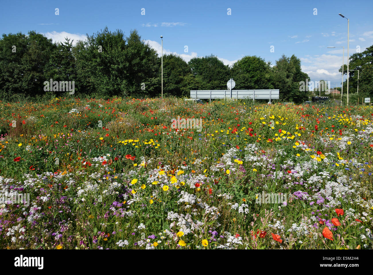 A roundabout seeded with wildflowers on the A49 near Whitchurch in Shropshire, UK - Stock Image