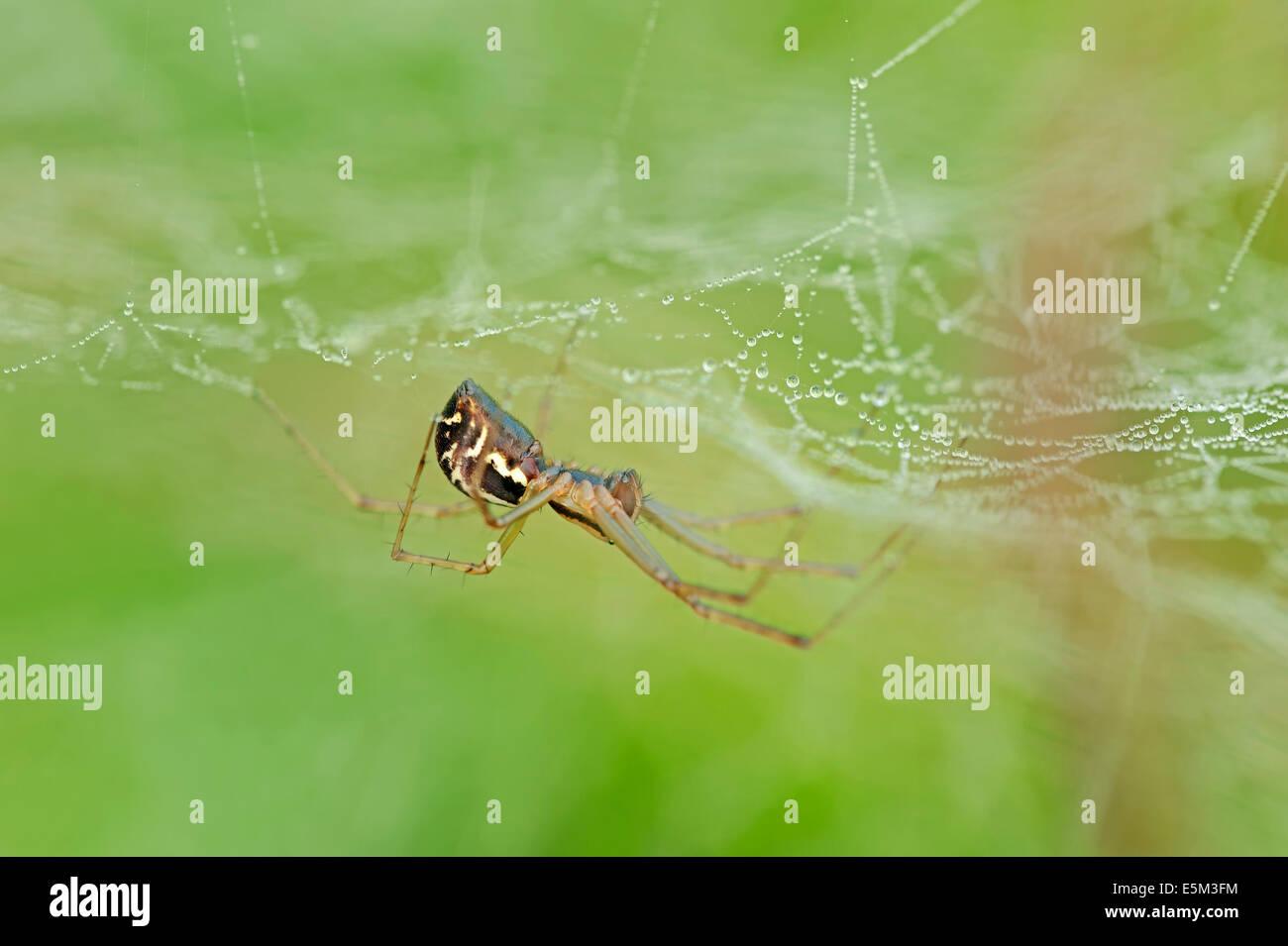 Sheet-Web Spider or Money Spider (Linyphia triangularis), North Rhine-Westphalia, Germany Stock Photo