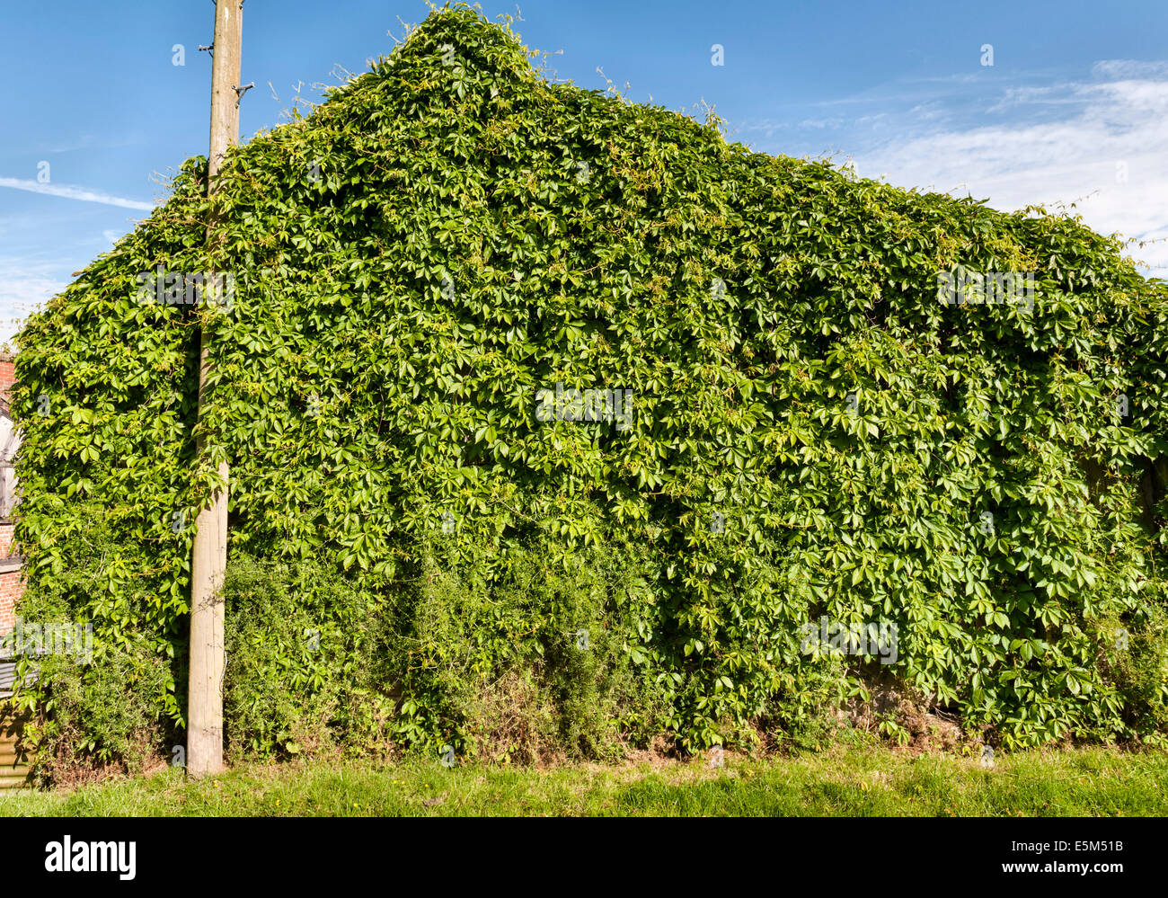 Russian vine (Fallopia baldschuanica) entirely covering an old barn. Also known as mile-a-minute because of its - Stock Image