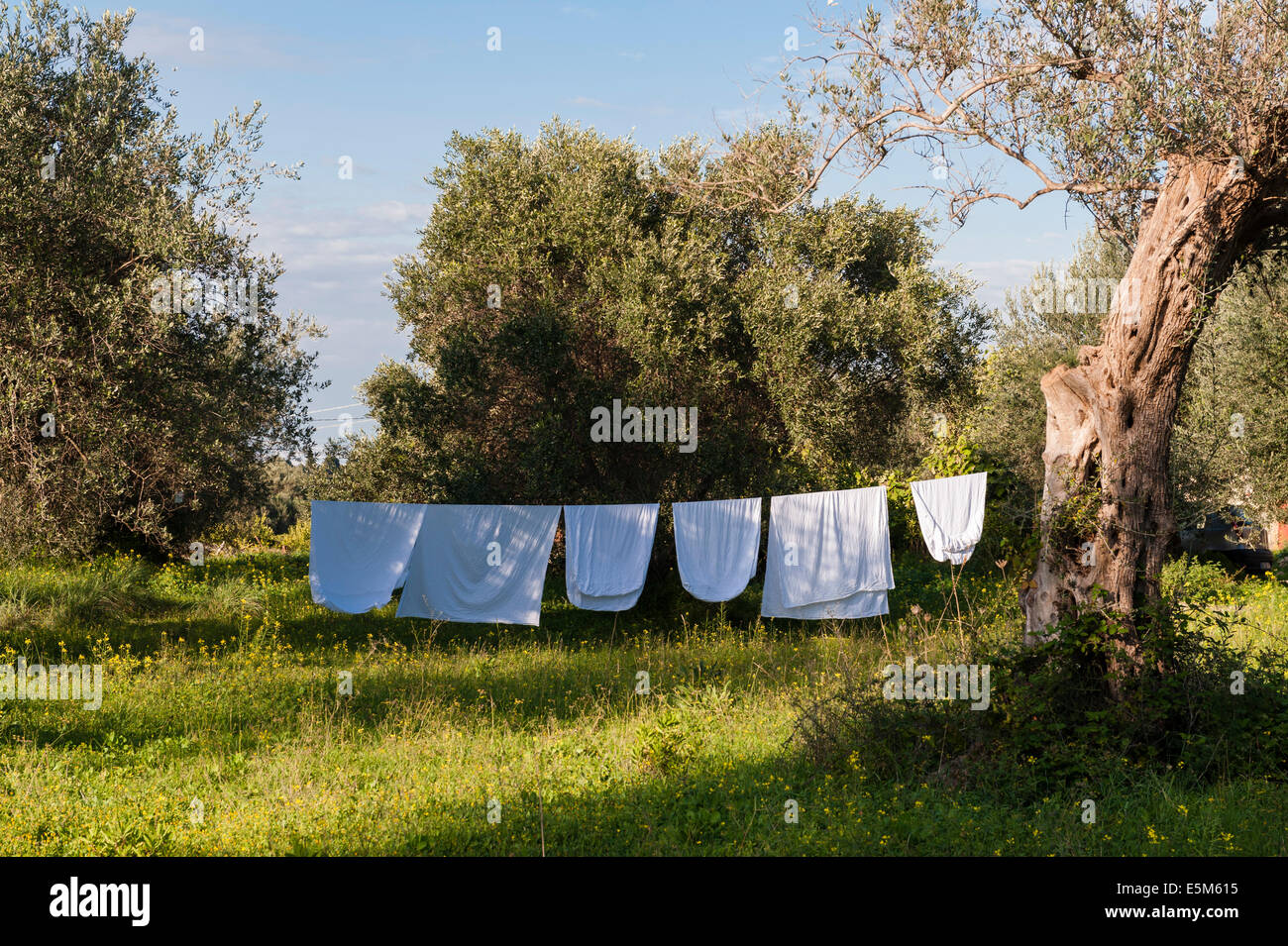 Sheets hung out to dry in the sunshine on a washing line in a Sicilian olive grove, Italy - Stock Image