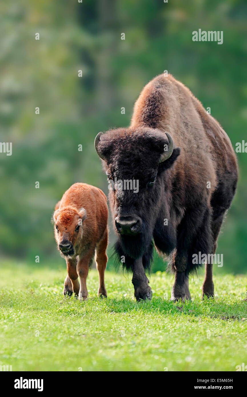 American Bison or American Buffalo (Bison bison), cow with calf - Stock Image