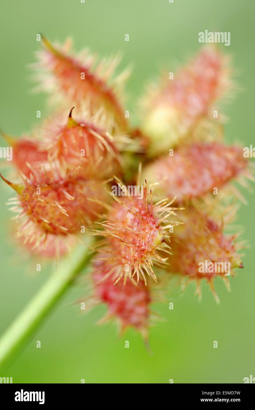 Common Liquorice (Glycyrrhiza glabra, Glycyrrhiza officinalis, Glycyrrhiza hirsuta, Liquiritia officinalis), fruit Stock Photo