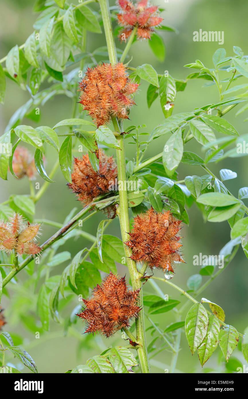 Common Liquorice (Glycyrrhiza glabra, Glycyrrhiza officinalis, Glycyrrhiza hirsuta, Liquiritia officinalis), fruits - Stock Image
