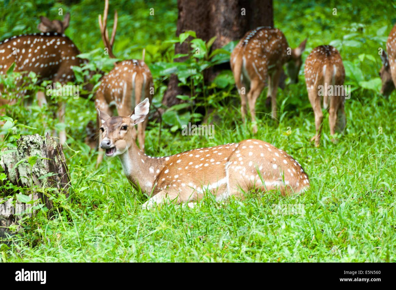 Spotted deer herd in Parambikulam Wildlife Sanctuary - Stock Image