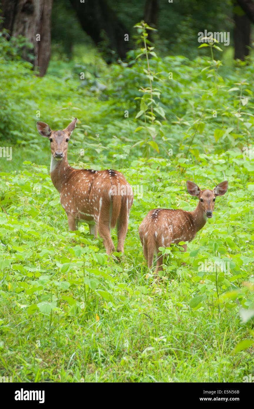 Axis deer in Parambikulam Wildlife Sanctuary - Stock Image