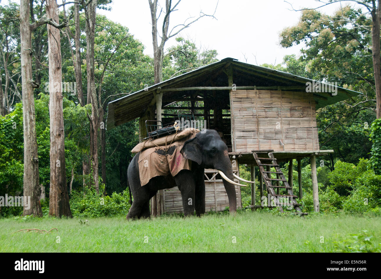 Tamed asian elephant used for forest safari - Stock Image